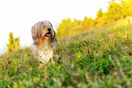 Beautiful Tibetan terrier dog standing on a sunny grass with blurred trees at the back