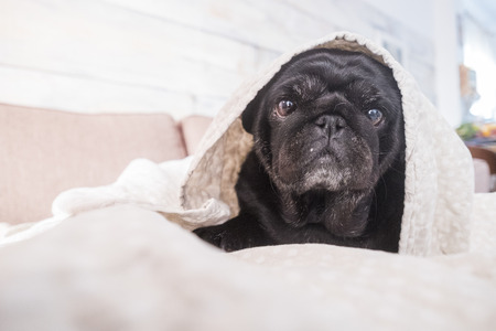 pug dog is having fun playing under the blanket. Lying on a brown couch, you look with tender eyes wrapped in a white blanket.