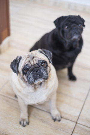 pug dogs couple waiting for something to eat looking at you