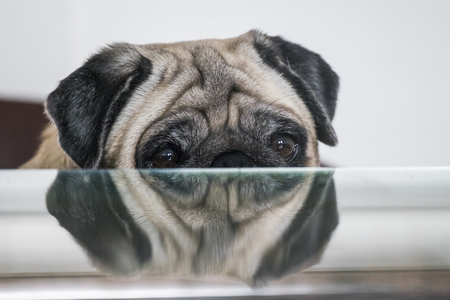 nice beautul pug dog hidden by the table show half face looking to you. waiting for the bread and food, purebred sweet concept