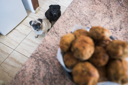 two pug pug dogs looking with gluttony towards the meatballs