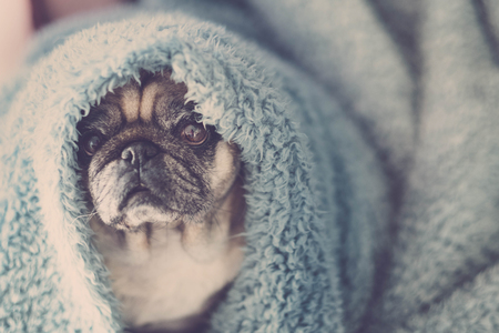 nice pretty tender portrait of old beautiful dog pug puppy with blue cover on the head. sleep or waking up in the morning concept. lazy and cold feel Banque d'images