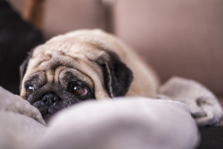 pug dog is having fun playing under the blanket. Lying on a brown couch, you look with tender eyes wrapped in a white blanket - animal love and protection concept