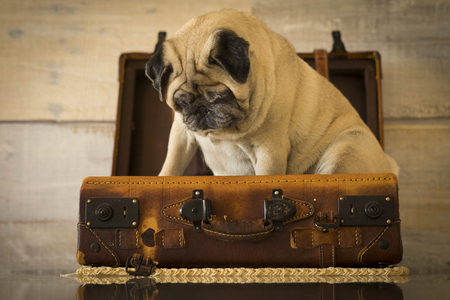Travel holiday vacation concept with nice funny pug dog sit down inside an old vintage luggage - brown color tones and traveler lifestyle - wooden wall in background