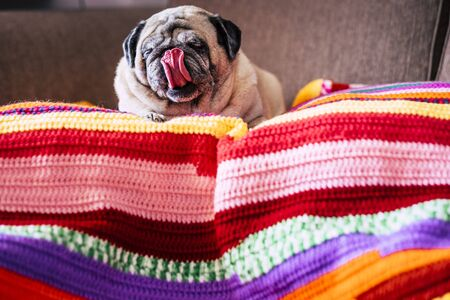 Adorable funny pug dog at home with nice tongue lay down lazy on a coloured cover on the sofa - concept of best friend dog and texture background - funny domestic canine
