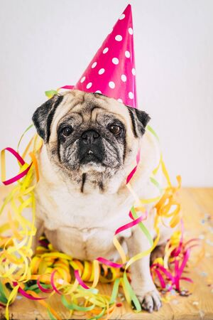 Happy and funny party event celebration concept with old bored dog pug sitting with carnival and celebrate hat and stuffs - colorful image with animal