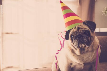 party and celebration time at home for a beautiful pug with nice hat. new year eve concept indoor with funny and adorable best friend animal domestic dog 写真素材