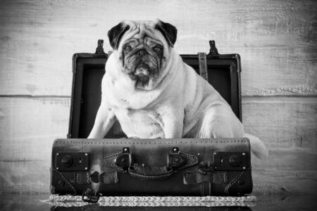 dog pug sweet and funny inside a luggage on the table, always ready to start. wanderlust concept and old vintage troppey. Travel funny animal image