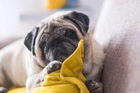 Funny and beautiful dog resting and relaxing at home on the sofa - concept of adorable puppy pug looking at you with love like a best friend