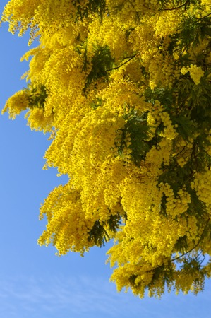 Close-up of Mimosa in Bloom, Silver Wattle, Acacia Dealbata Zdjęcie Seryjne