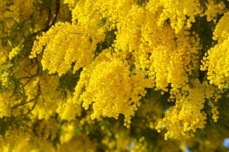 Close-up of Mimosa in Bloom, Silver Wattle, Acacia Dealbata