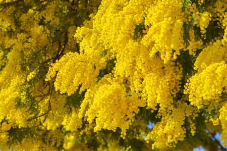 Close-up of Mimosa in Bloom, Silver Wattle, Acacia Dealbata Stok Fotoğraf
