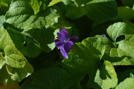 Close-up of a Viola Odorata, Sweet Violet, Wood Violet, Sicily 版權商用圖片