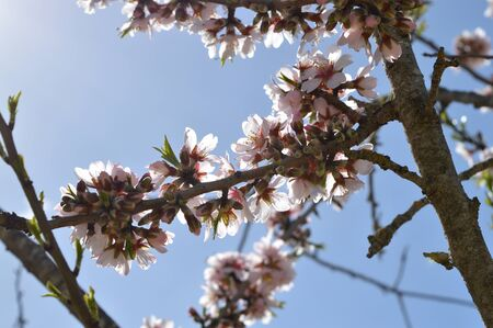 Close-up of Beautiful Almond Blossoms, Nature, Macro