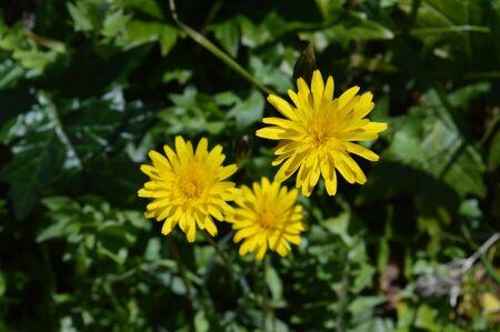 Close-up of Beautiful Dandelion Flowers, Nature, Macro