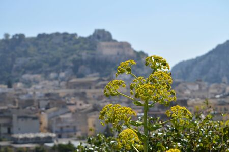 Close-up of a Giant Fennel in Bloom with the City of Scicli in the Background, Sicilian Landscape, Italy, Europe