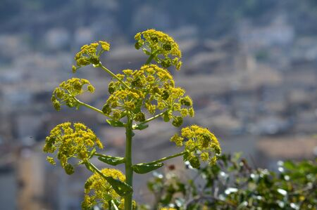 Close-up of a Giant Fennel in Bloom, Ferula communis, Nature, Macro, Sicilian Landscape, Italy, Europe