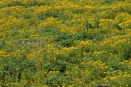 Spring Meadow with Wild Yellow Daisies, Sicilian Landscape, Italy, Europe