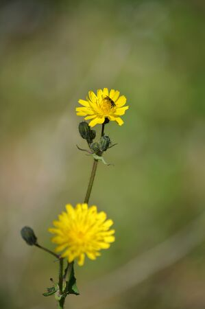Close-up of Common Sow Thistle Flowers, Nature, Macro