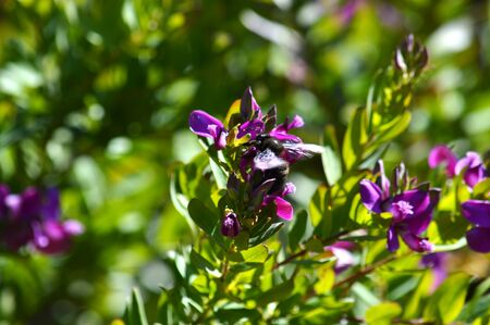 Close-up of Polygala Flowers with a Violet Carpenter Bee, Nature, Macro 版權商用圖片