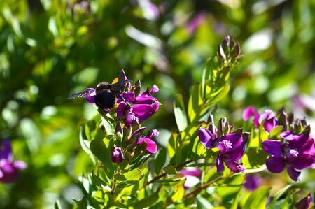 Close-up of Polygala Flowers with a Violet Carpenter Bee, Nature, Macro Banco de Imagens