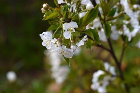 Close-up of White Cherry Blossoms, Nature, Macro Banco de Imagens