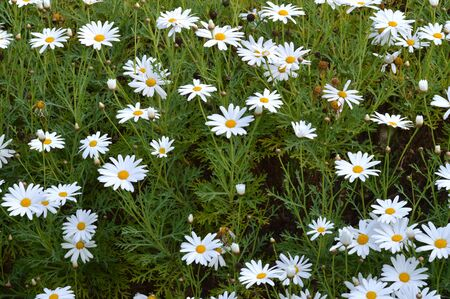 Close-up of White Daisy in Bloom, Nature Banco de Imagens