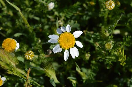 Close-up of Chamomile Daisies, Nature, Macro Banco de Imagens