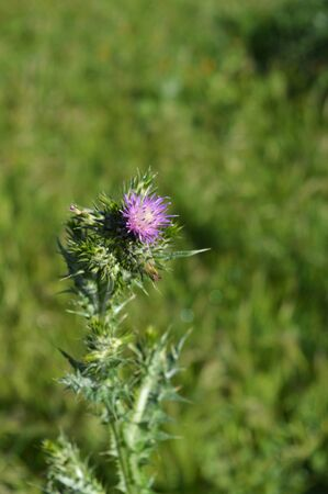 Close-up of Wild Thistle Blossom, Plumeless Thistles, Carduus, Nature, Macro