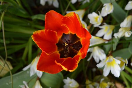 Close-up of a Colorful Tulip, Nature, Macro