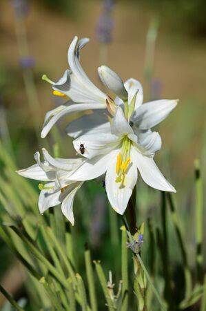 Close-up of Madonna Lily, Lilium Candidum, Macro, Nature