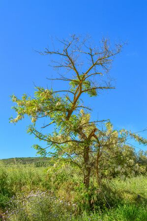Silky Wisteria Tree in Bloom, Wisteria Brachybotrys, Nature