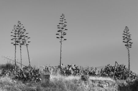 Sicilian Landscape with the Agave Americana Blossom, Sicily, Italy, Europe