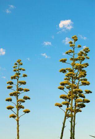 Close-up of Agave Americana Plants in Bloom, Sentry Plant 版權商用圖片