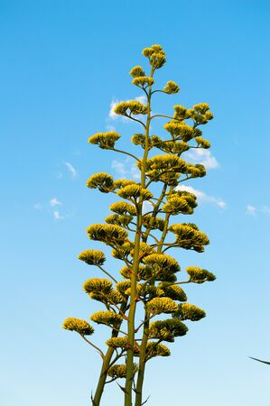 Close-up of Agave Americana Plants in Bloom, Sentry Plant Banco de Imagens