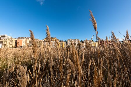 Field of Bambuseae in the City Centre of Caltanissetta, Sicily, Italy, Europe