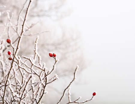 Rosehip bush covered in hoar frost