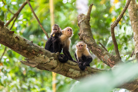 Capuchin Monkey on branch of tree - animals in wilderness Stock Photo