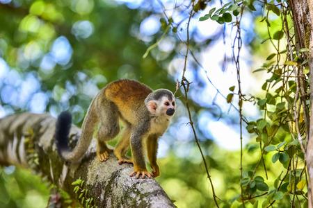Squirrel Monkey on branch of tree - animals in wilderness