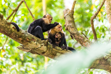 small world: Capuchin Monkey on branch of tree - animals in wilderness Stock Photo