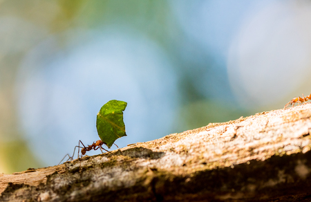 Ants are carrying on leaves