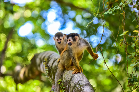 Squirrel Monkey on branch of tree - animals in wilderness