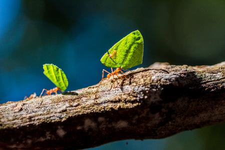 アリは葉に運んでいます。