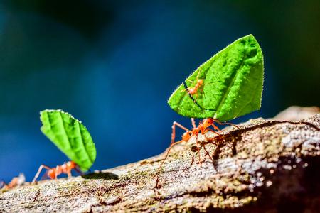 Mrówki niosą liście Zdjęcie Seryjne
