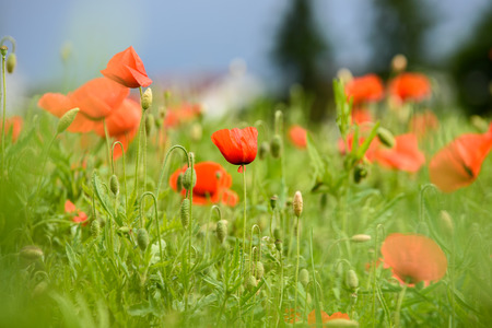 Poppy flower in a field with beautiful colors