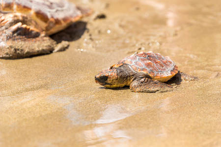 Turtle Baby with mother on beach