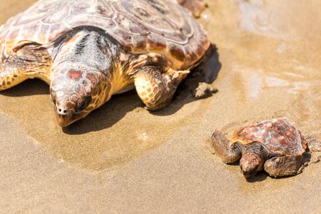해변에 어머니와 거북이 아기