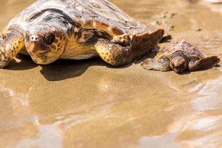 母親とビーチ、カメの赤ちゃん