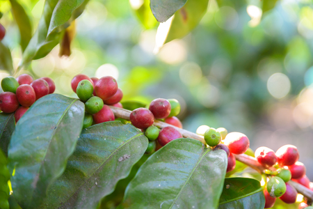Red coffee beans on tree - ripe and mature coffee beans in the harvest time Stock Photo