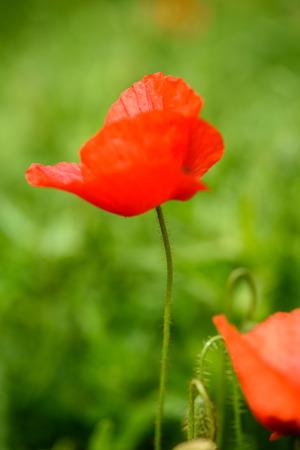 Papaver bloem in een veld met mooie kleuren